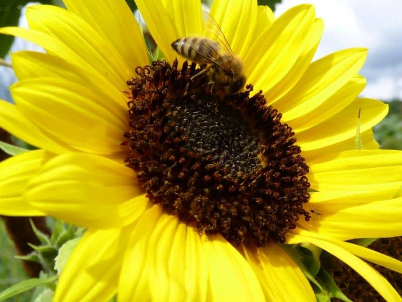 photo of bee on sunflower