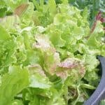 How To Grow Fresh Lettuce All Year Through Winter And Summer