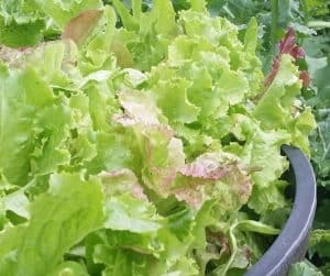 photo of lettuce growing in planter
