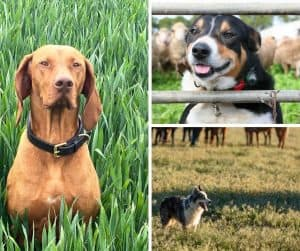 Photo of various homestead dogs