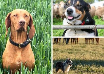 4 Types Of Working Dogs To Consider For Your Homestead