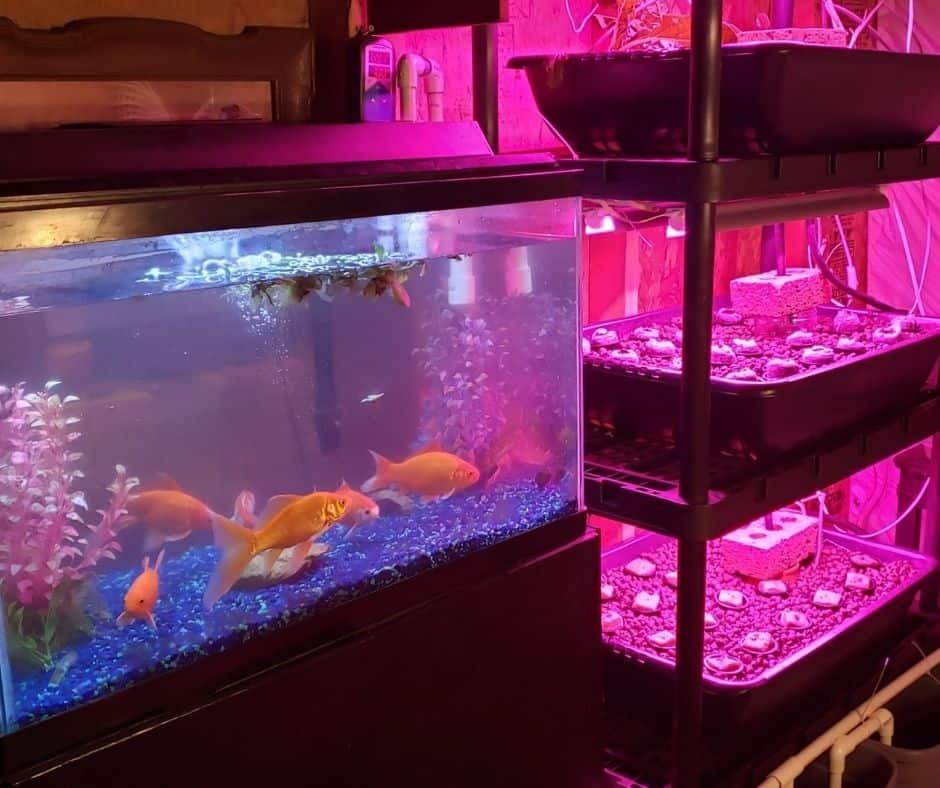 indoor fish tank aquaponic system