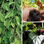 The Value Of Mulberry Trees On A Permaculture Homestead