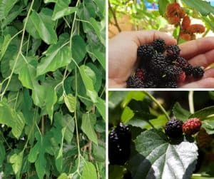 photo of mulberry fruit and leaves