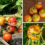 Why Do Tomatoes Split And What Can You Do About It