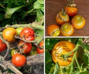 photo of split tomatoes