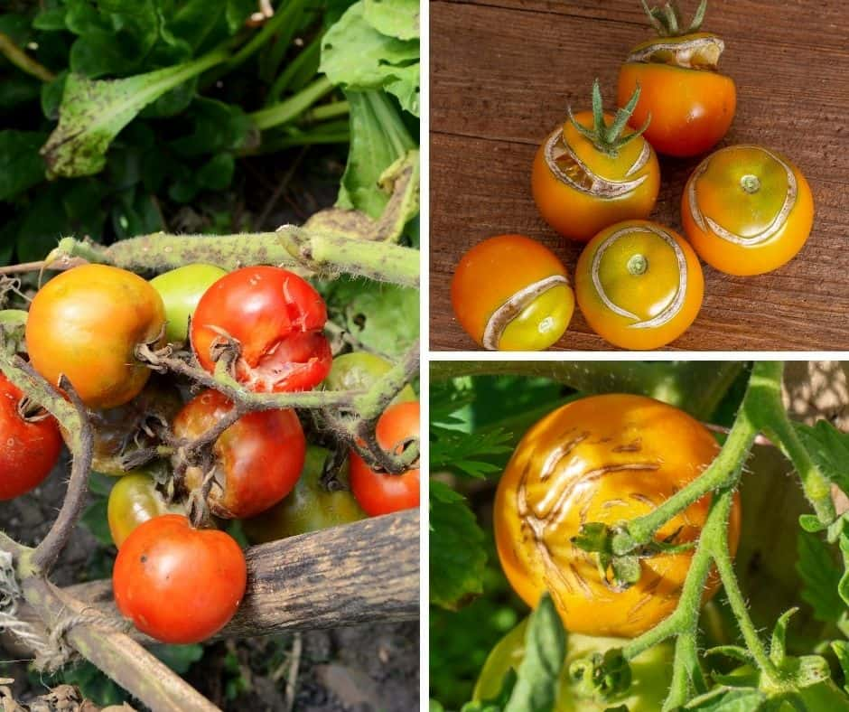 You are currently viewing Why Do Tomatoes Split And What Can You Do About It