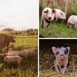 How To Start Raising Pigs On Your Permaculture Homestead