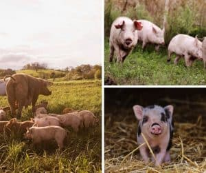 photo of various pigs on farm