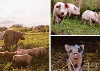 How To Get Started Raising Pigs On Your Permaculture Homestead