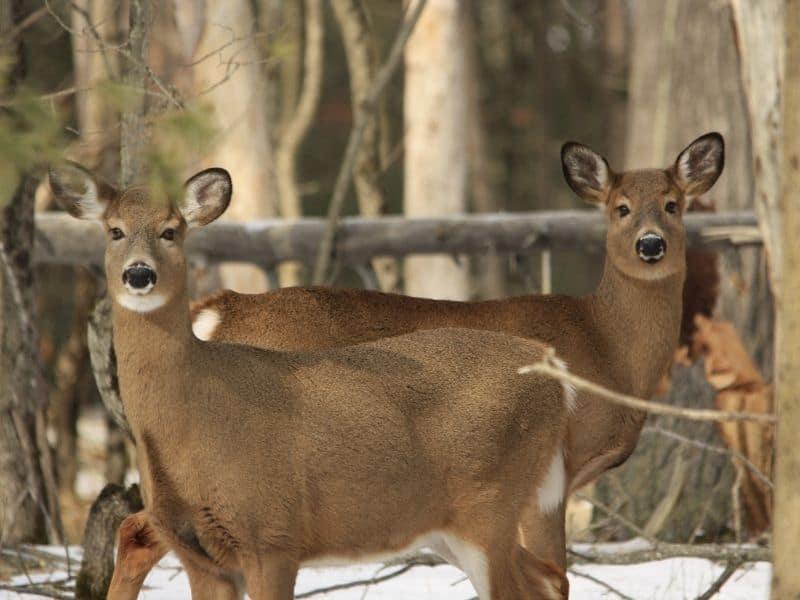 photo of two deer in woods