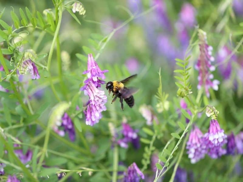 photo of bee on hairy vetch flower
