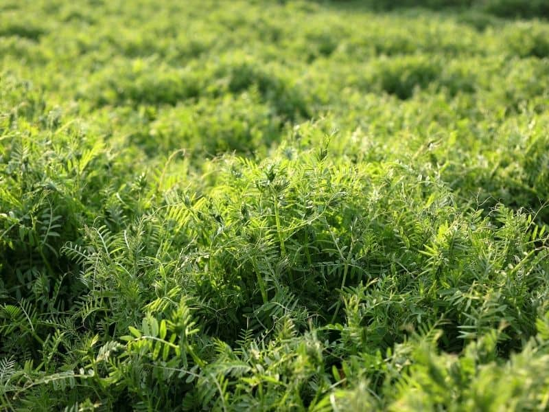 photo of field of hairy vetch