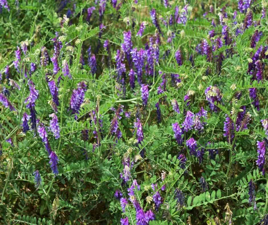 7 Uses For Hairy Vetch On The Permaculture Homestead