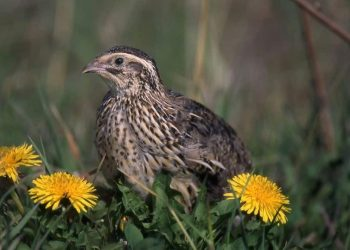 9 Great Reasons To Raise Quail On Your Permaculture Homestead