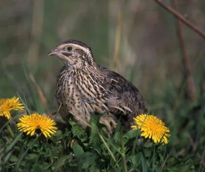 You are currently viewing 9 Great Reasons To Raise Quail On Your Permaculture Homestead