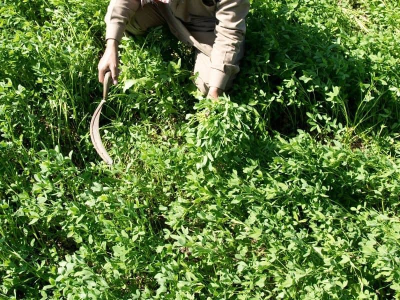 Photo of cutting down cover crops