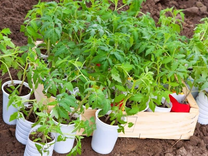 photo of tomato seedlings