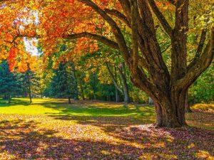 Photo of a shade tree