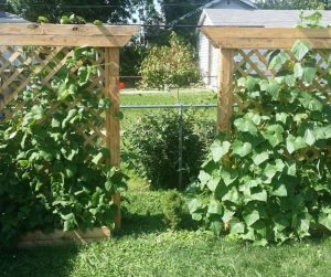 Photo of trellis raised beds with cucumber vines
