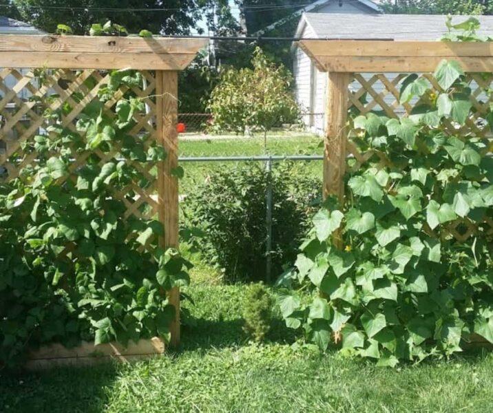 Photo of trellis raised beds with cucumber vines