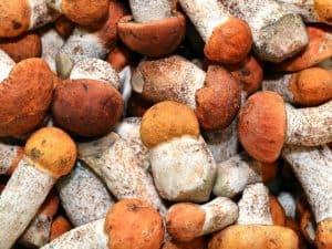Photo of wine cap mushroom harvest