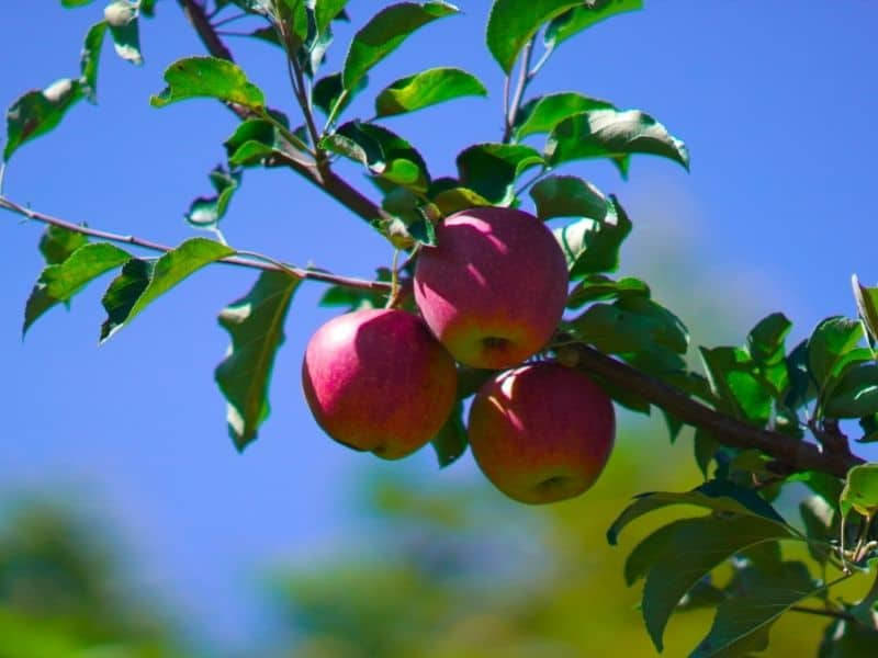 Photo of apples growing on tree