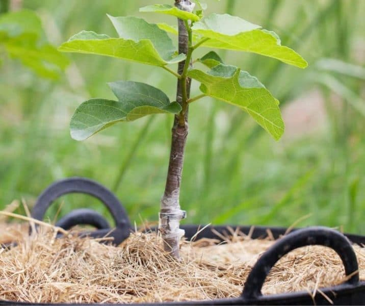 photo of a grafted sapling