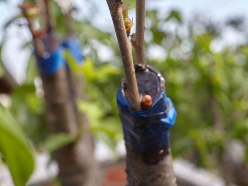 photo of veneer graft