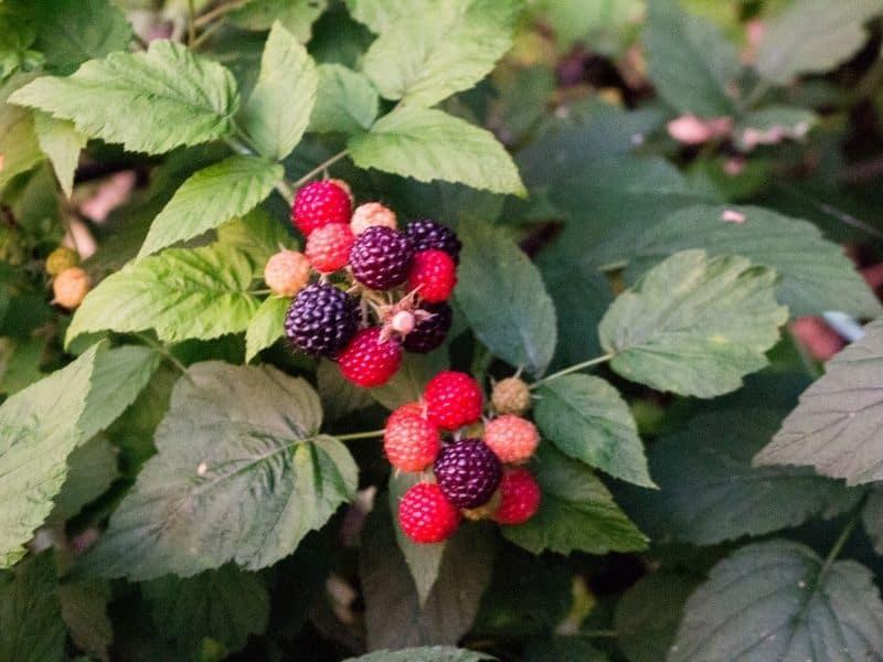 Photo of raspberry bush