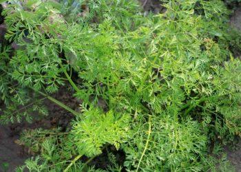 What Is A Biennial Plant?