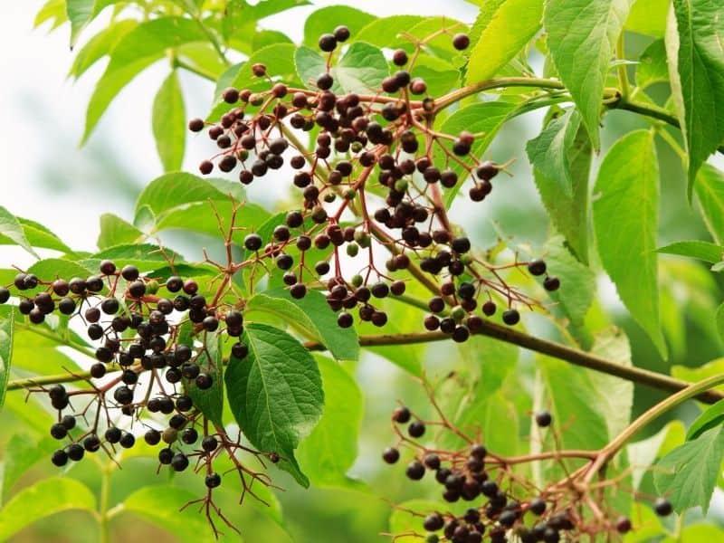 Photo of elderberry bush