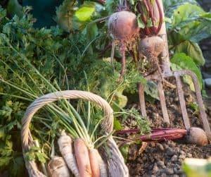 Photo of garden harvesting