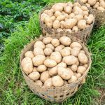 How Long Should You Grow Potatoes Before Harvesting