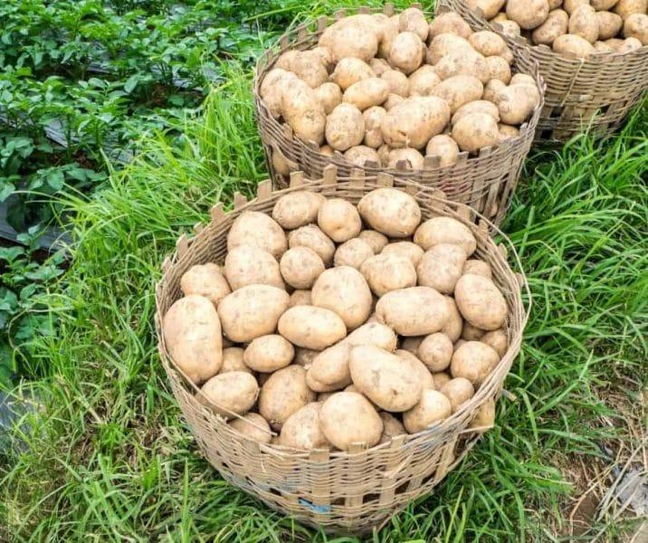 photo of a potato harvest