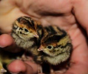 photo of 2 quail chicks