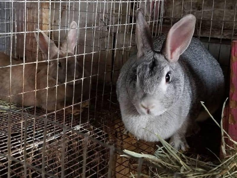 phot of Rabbits in cages