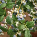 What NOT To Plant Near Blueberries