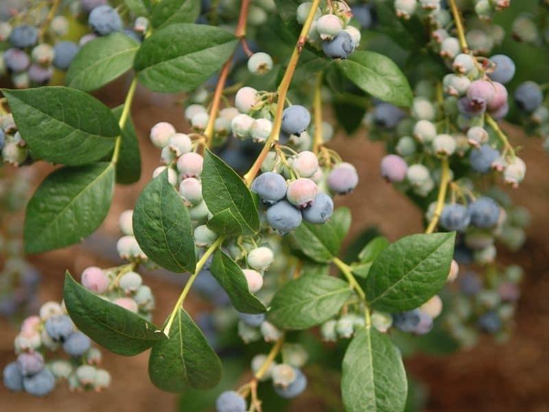photo of blueberry bush