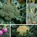 What are Brassicas? (Growing Tips Included)