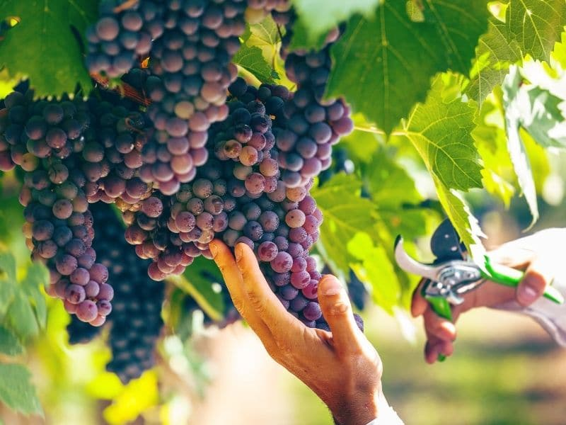 Photo of grape harvesting