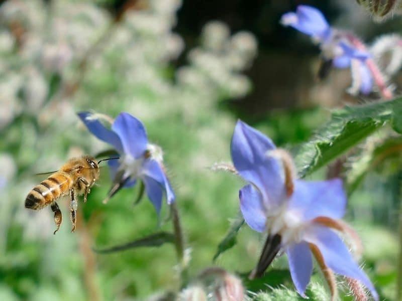photo of bee on borage