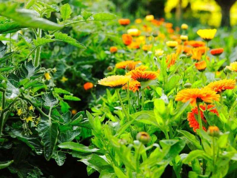 photo of companion planting in garden