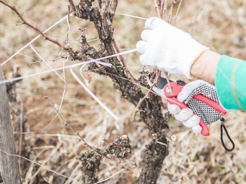 Photo of dormant grapevine pruning