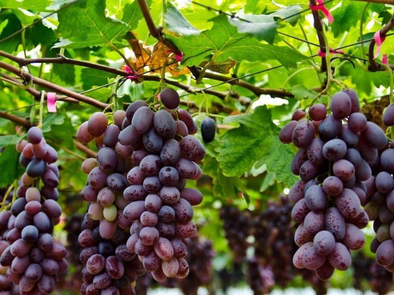 photo of grape vine