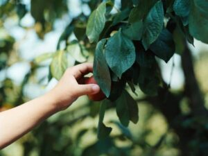photo of picking fruit