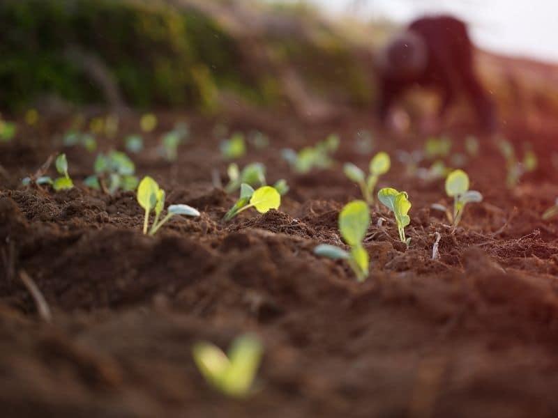photo of brassica seedlings