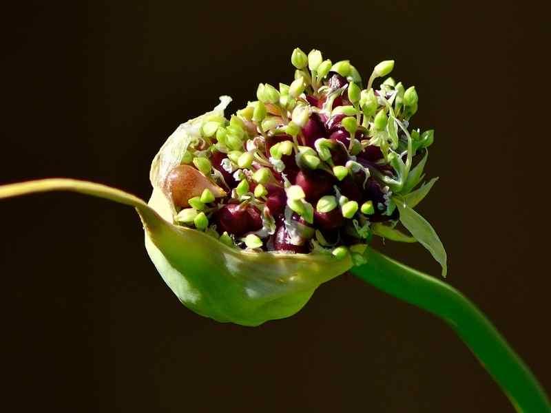 Garlic Bulbil