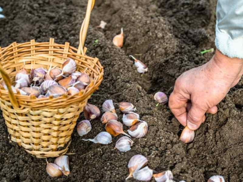 Plantic Garlic
