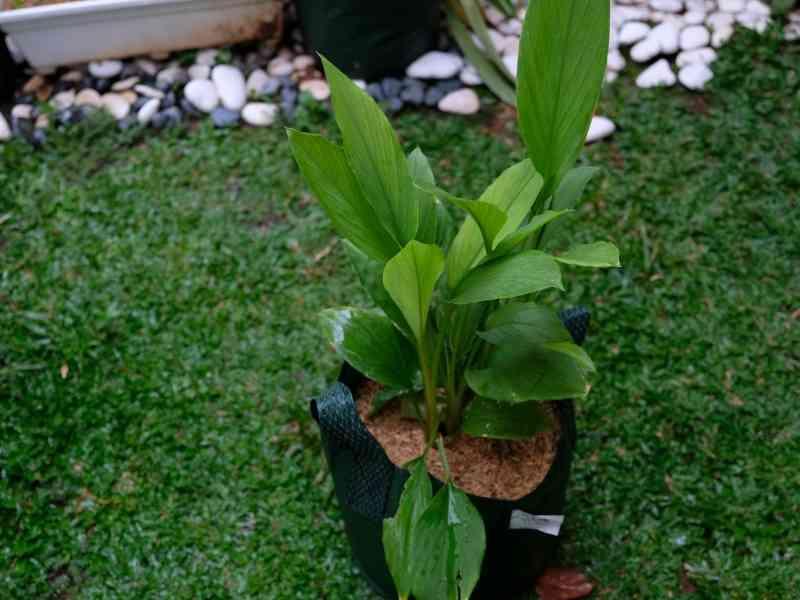 turmeric growing in grow bag